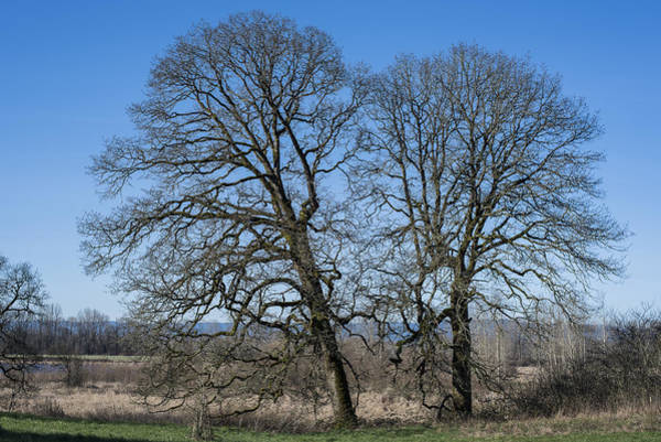 Photograph - Two Oaks by Robert Potts