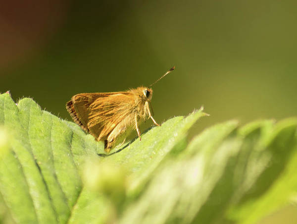 Photograph - Woodland Skipper Butterfly 7 by Marilyn Wilson