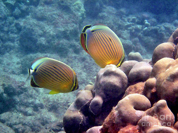 Photograph - Two Oval Butterflyfish by Bette Phelan