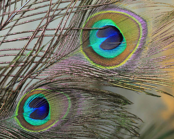 Photograph - Two Peacock Feathers by Angela Murdock