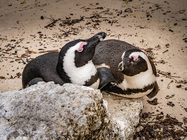 Wall Art - Photograph - Two Penguins by Mike Walker