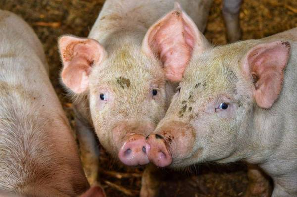 Photograph - Two Pigs by Joseph Caban