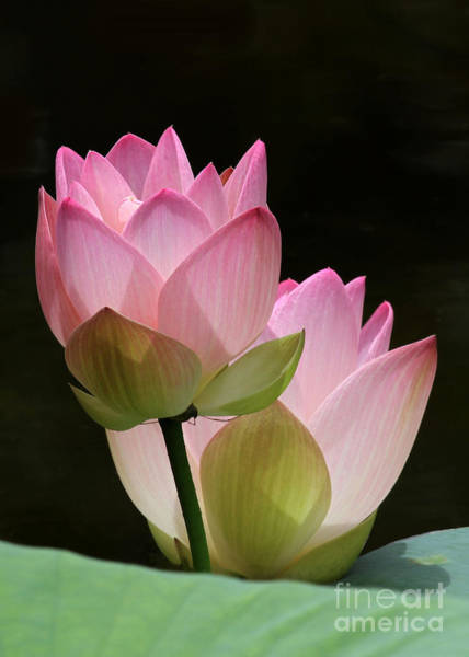 Photograph - Two Pink Lotus by Sabrina L Ryan