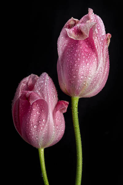 Photograph - Two Pink Tulips by James BO Insogna