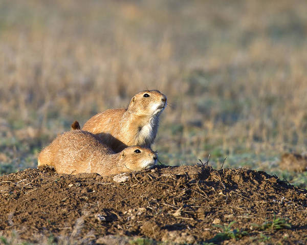 Dog Watch Photograph - Two Prairie Dogs On Watch by Gary Langley