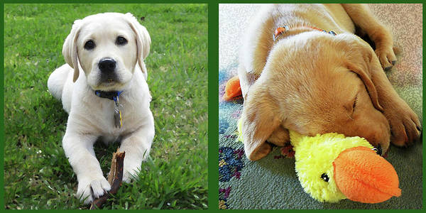 Sweet Puppy Photograph - Two Puppies Two Yellow Labs by Irina Sztukowski