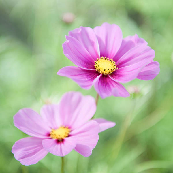 Photograph - Two Purple Cosmos Flowers by Helen Northcott