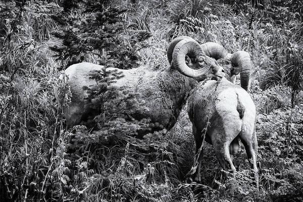 Photograph - Two Rams Bw by Belinda Greb