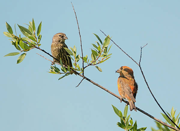 Crossbill Photograph - Two Red Crossbills by Loree Johnson