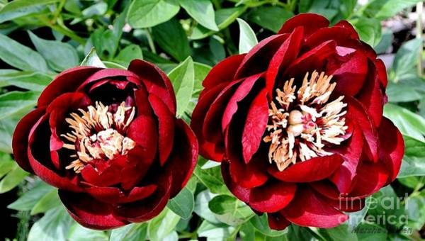 Wall Art - Photograph - Two Red Peonies by Marsha Heiken