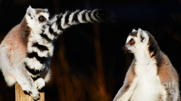Photograph - Two Ring-tailed Lemurs by Nick Biemans