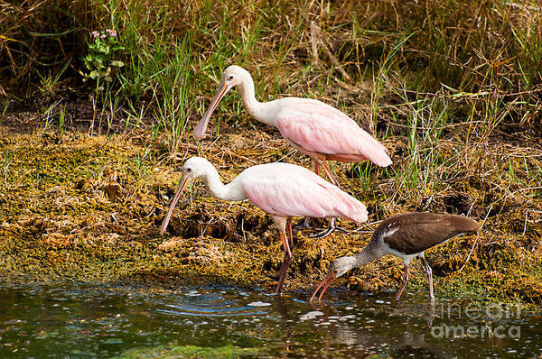 Photograph - Two Roseatte Spoonbills by Photos By Cassandra