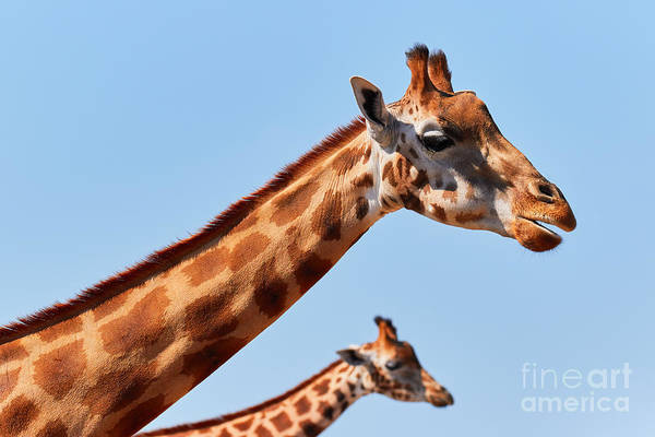 Photograph - Two Rothschild's Giraffes  by Nick  Biemans