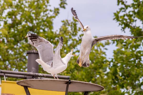 Photograph - Two Seabird Fighting by Jacek Wojnarowski