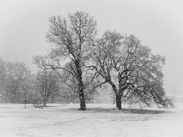Photograph - Two Sister Trees by Louis Dallara