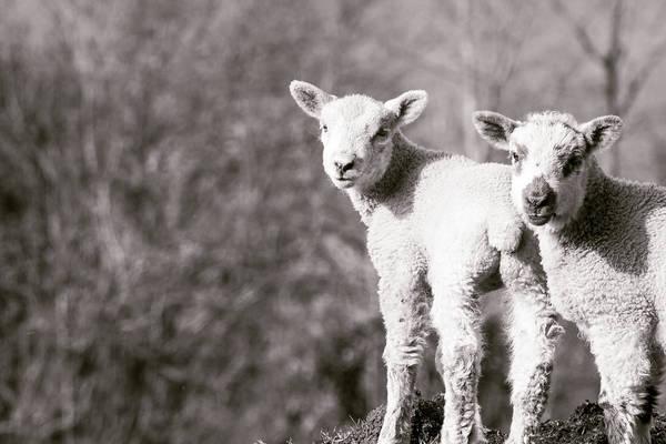 Photograph - Two Small Lambs, Blur Background by Jacek Wojnarowski