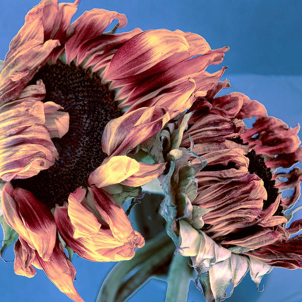Wall Art - Photograph - Two Sunflowers Against Blue Tournesols by William Dey