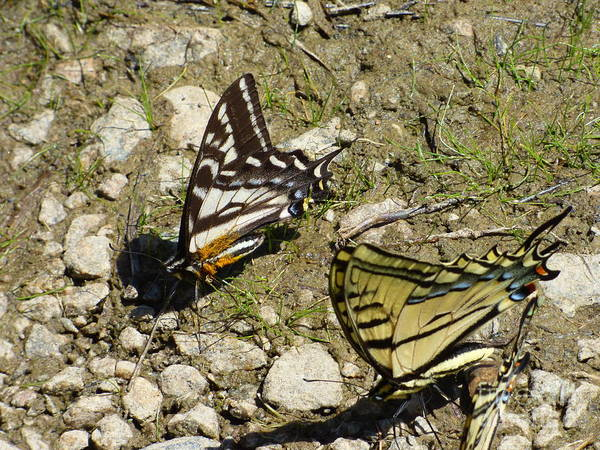 Photograph - Two Swallowtail Butterflies by Charles Robinson