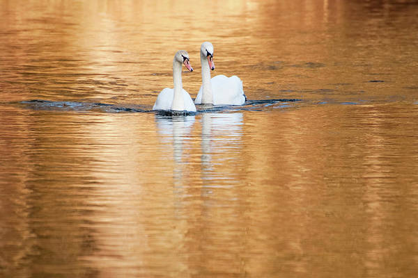 Photograph - Two Swans On Gold by Alexander Kunz