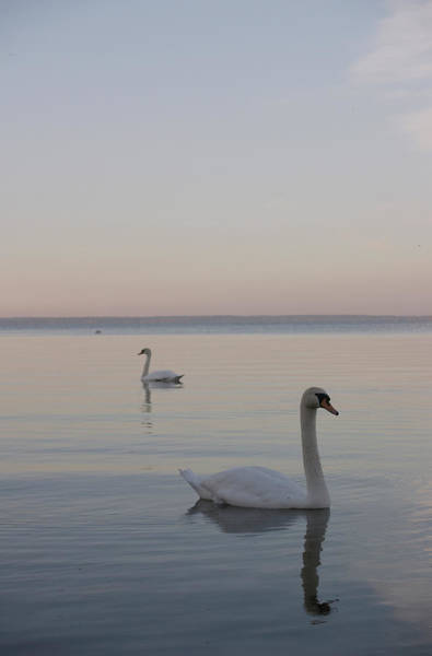 Wall Art - Photograph - Two Swans by Stanislovas Kairys