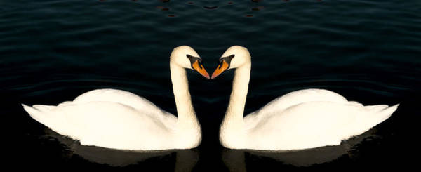 Photograph - Two Symmetrical White Love Swans by John Williams
