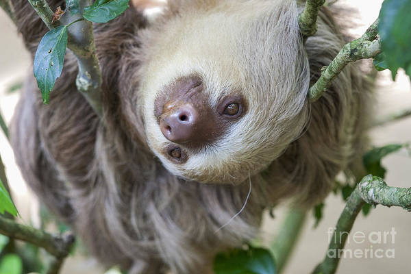 Wall Art - Photograph - Two Toed Sloth In A Tree by Patricia Hofmeester