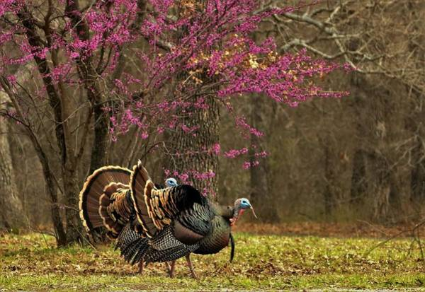 Photograph - Two Tom Turkey And Redbud Tree by Sheila Brown