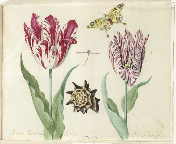 Painting - Two Tulips, A Shell, A Butterfly And A Dragonfly by Celestial Images