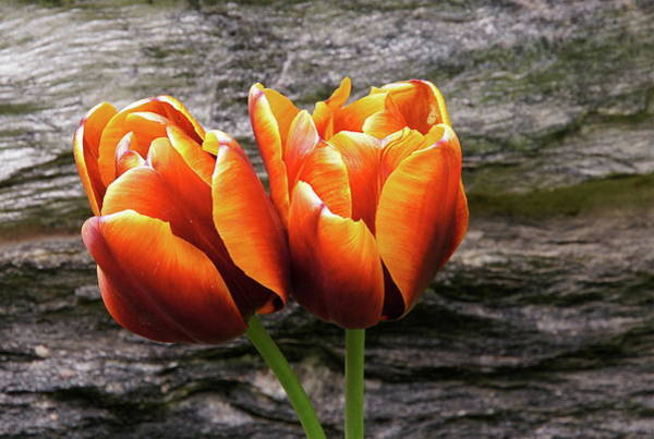 Photograph - Two Tulips And Stone by Byron Varvarigos