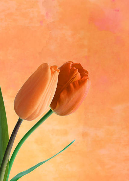 Wall Art - Photograph - Two Tulips by Mark Rogan