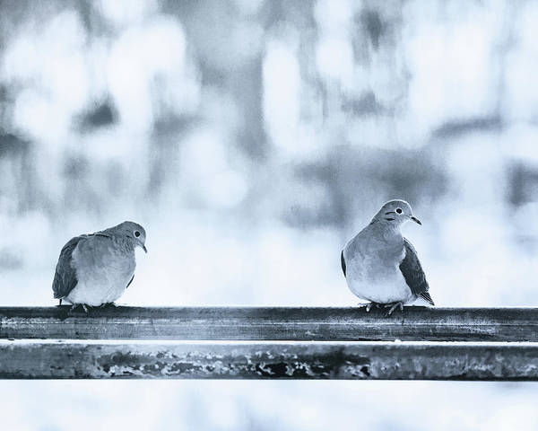 Wall Art - Photograph - Two Turtledoves by Susan Capuano