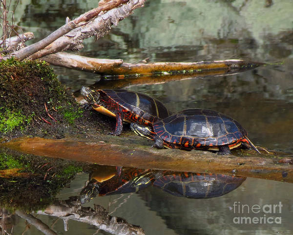 Photograph - Two Turtles by Donna Cavanaugh