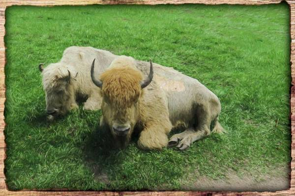 Digital Art - Two White Bison by Rusty R Smith