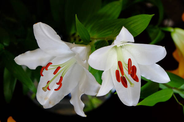 Photograph - Two White Lilies by August Timmermans