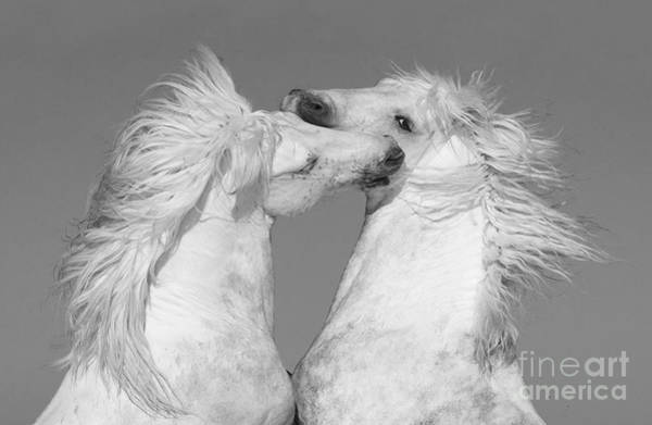 Wall Art - Photograph - Two White Manes by Carol Walker