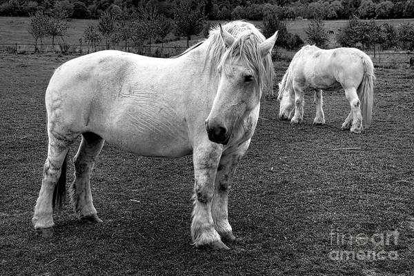 Photograph - Two White Percherons In A Field by Olivier Le Queinec
