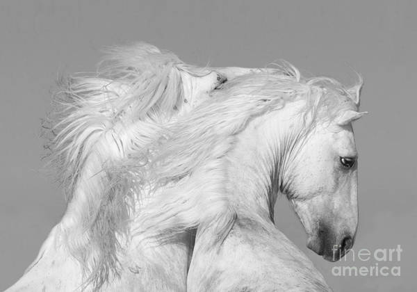 Wall Art - Photograph - Two White Stallions Play by Carol Walker