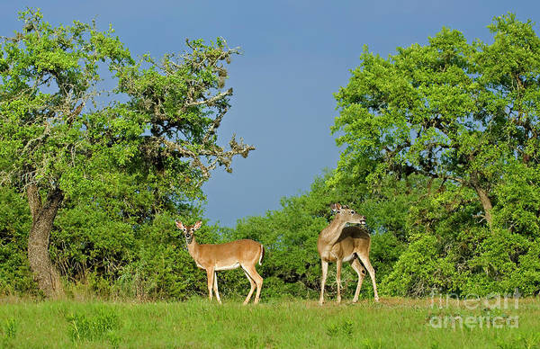 Photograph - Two Whitetail Deer Odocolieus Virginianus Wild Texas by Dave Welling