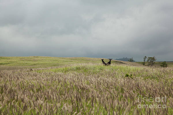 Photograph - Two Wild Goats In Hawaii by Charmian Vistaunet