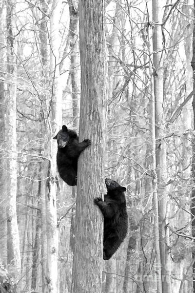 Photograph - Two Young Black Bears Pausing On There Way Up A Tree by Dan Friend