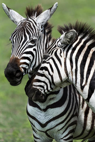 Photograph - Two Zebras In Ngorongoro Crater by RicardMN Photography