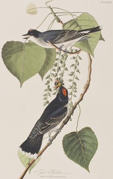 Flycatcher Painting - Tyrant Fly Catcher by John James Audubon