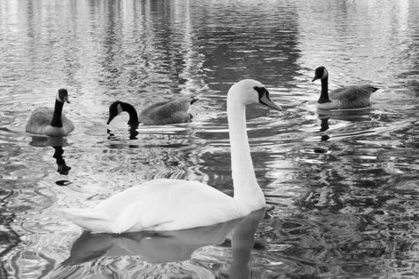 Photograph - Ugly Duckling by SR Green