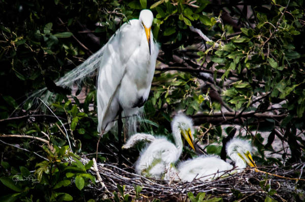 Photograph - Ugly Ducklings Egret Style by Susan Molnar