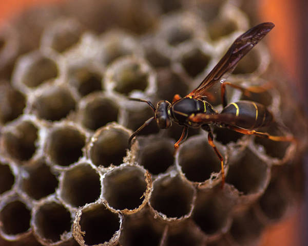 Photograph - Uh Yea That Is A Wasp by Toby McGuire
