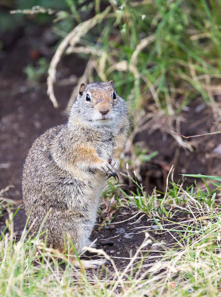 Photograph - Uinta Ground Squirrel  by Michael Chatt