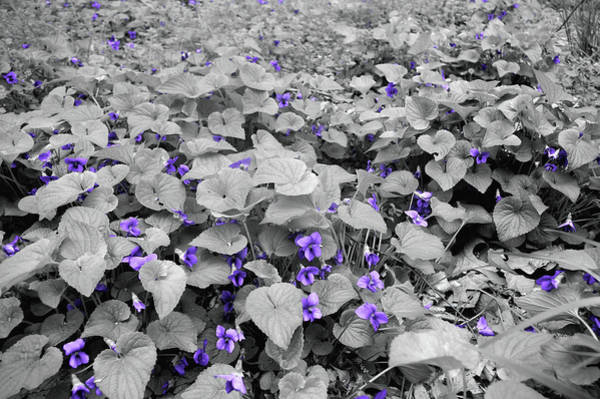 Photograph - Ultra Violets by Susan Maxwell Schmidt