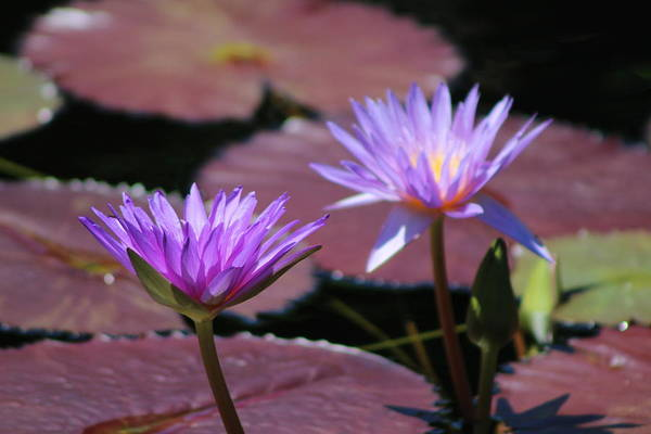 Photograph - Ultraviolet Lotus Flower On Burgundy Lily Pads by Colleen Cornelius