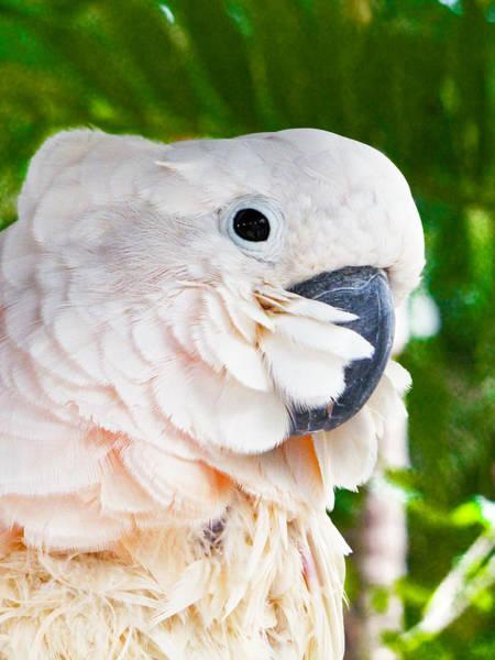 Photograph - Umbrella Cockatoo by Bob Slitzan