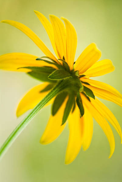 Photograph - Under A Black-eyed Susan by  Onyonet  Photo Studios